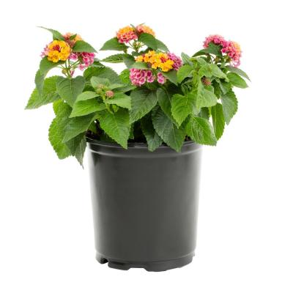 2.5 Qt. Lantana Annual Plant