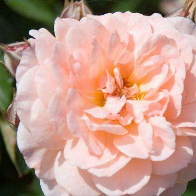 1 Gal. Apricot Rose - Live Re-Blooming Groundcover Shrub