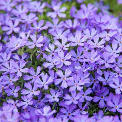 2.50 in. Pot Violet Pinwheels Creeping Phlox Ground Cover with Purple Flowers Live Perennial Plant (1-Pack)