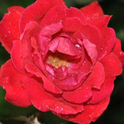 Knock Out Red Double Knock Out Shrub Rose Plant (2-Pack)