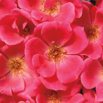 1 Gal. Pot Knock Out Pink Rose (Rosa), Live Deciduous Plant, Pink Flowering Shrub Rose (1-Pack)