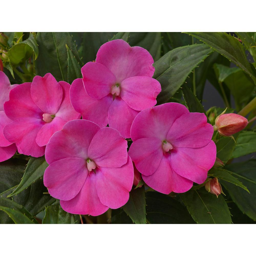 1 Qt. SunPatiens Lilac Impatiens Plant
