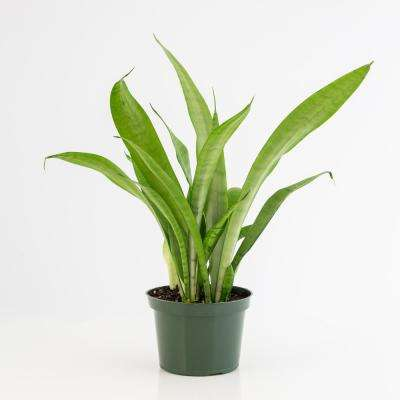 6 in. Snake Plant Moonshine Sansaveria Plant in Grower Pot