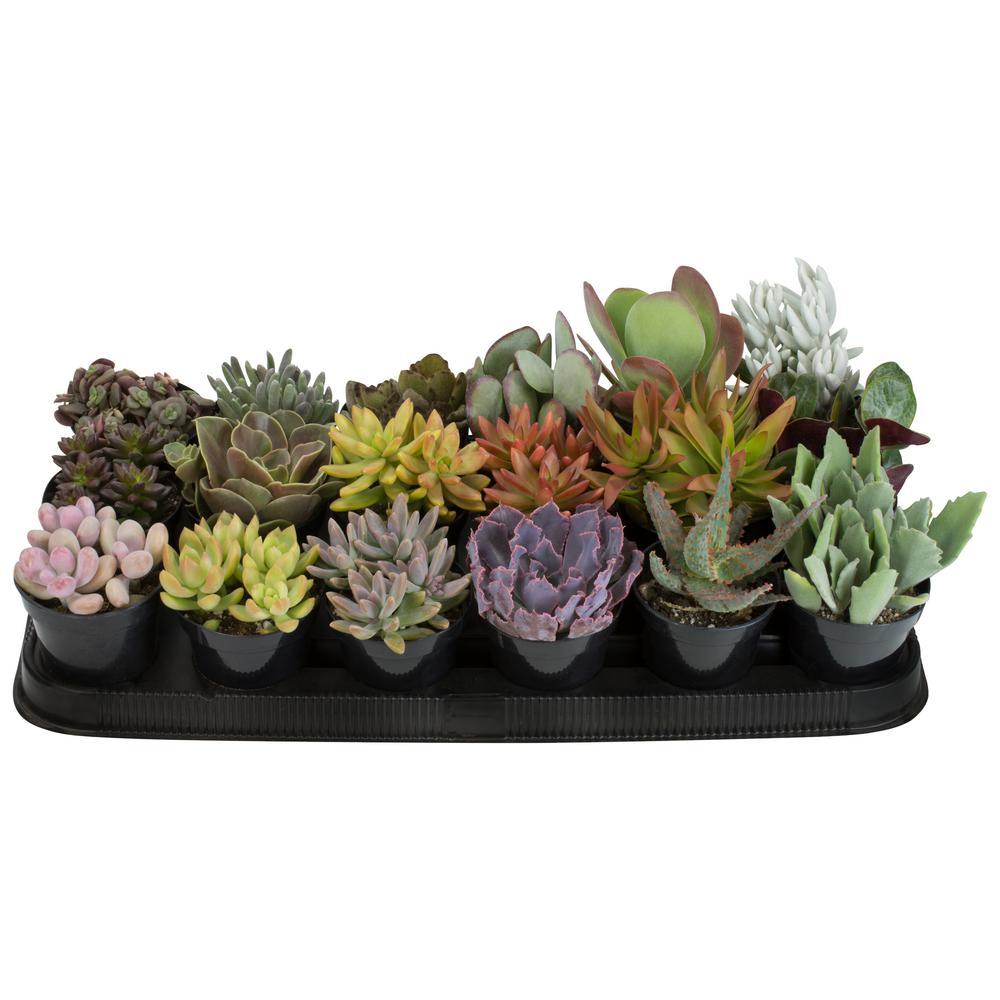 9 cm Succulent Assortment Plant (18-Pack)