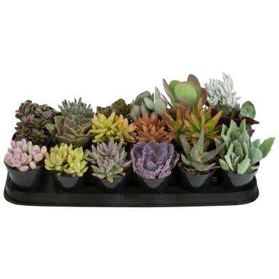 9 cm Succulent Assortment Plant (18-Pack)