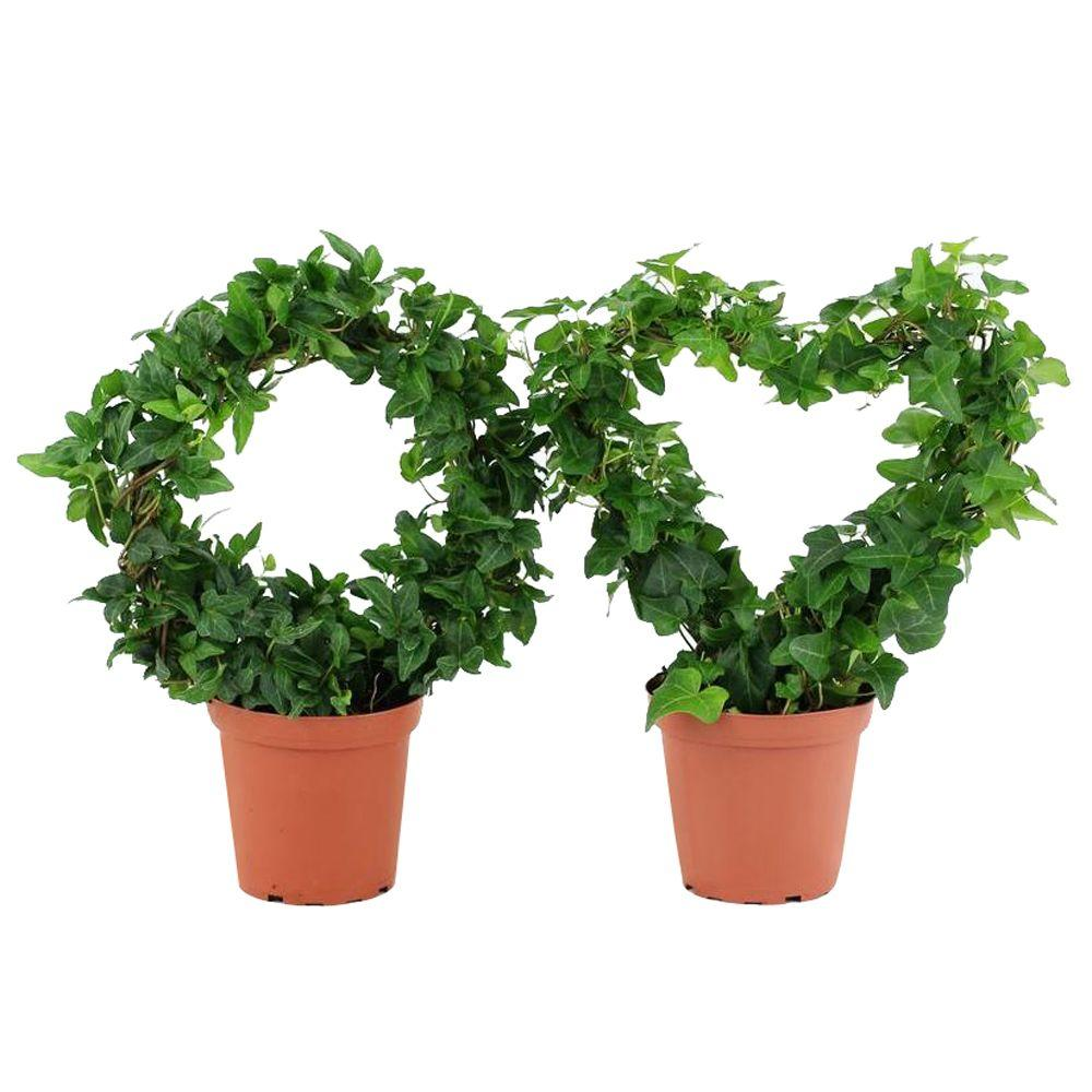 4.25 in. Ivy Classic Ring and Heart Topiary in Grower Pot