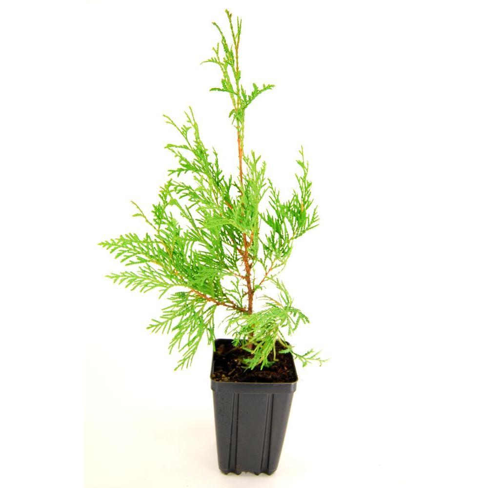 Small Ornamental Evergreen Trees: American Arborvitae / White Cedar Potted Evergreen Tree
