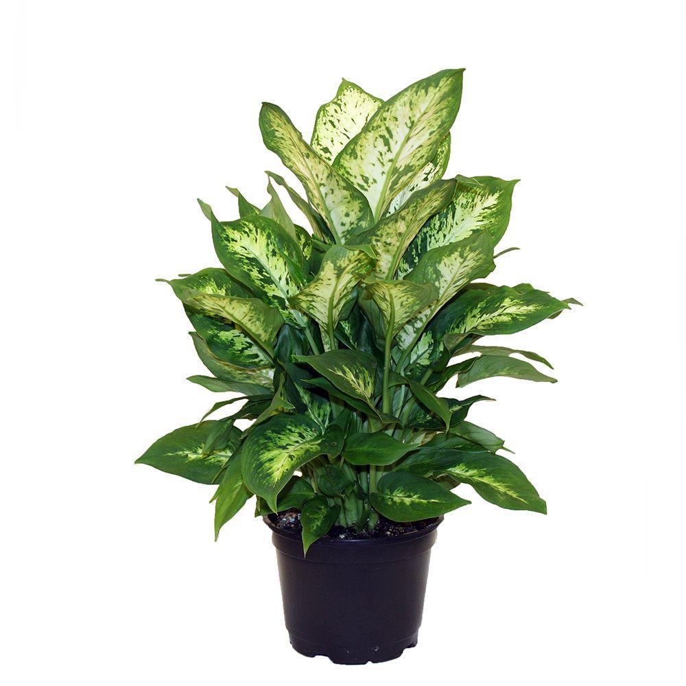 Dieffenbachia Exotica in 6 in. Grower Pot