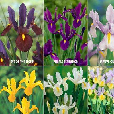 Dutch Iris Lover's Collection (Set of 60)