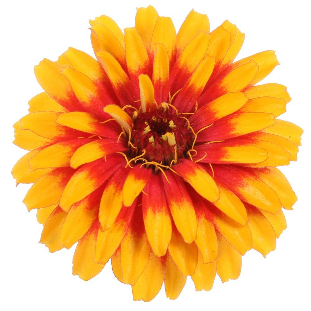 Orange annuals garden plants flowers the home depot sweet tooth candy corn zinnia live plant deep orange and yellow flowers mightylinksfo