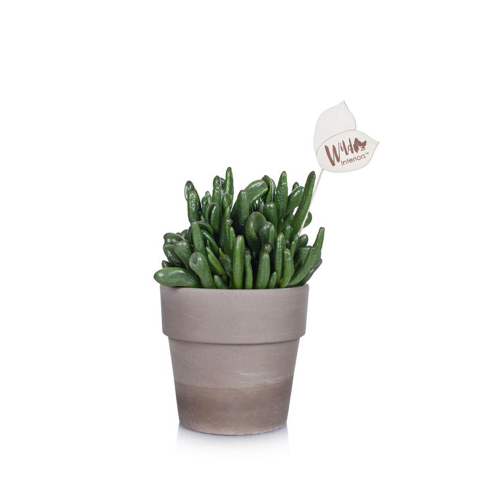 Wild Interiors 5 in. Crassula Succulent in a Terra Cotta Pot