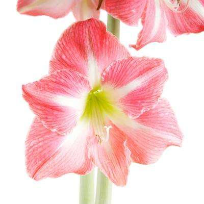 Amaryllis Apple Blossom Bulbs (3-Count/Pack)