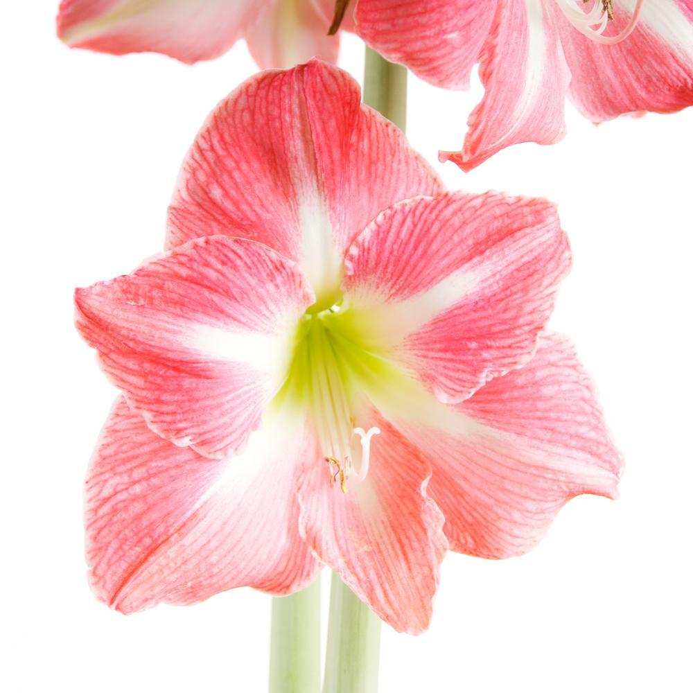 Pink Amaryllis Flower Bulbs Garden Plants Flowers The Home