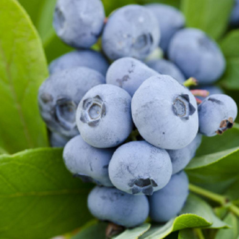 Southern Living Plant Collection 2.5 Qt. Takes The Cake Blueberry(Rabbiteye) Bush - Fruit-bearing Shrub