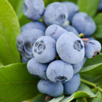 2.5 Qt. Takes The Cake Blueberry(Rabbiteye) Bush - Fruit-bearing Shrub