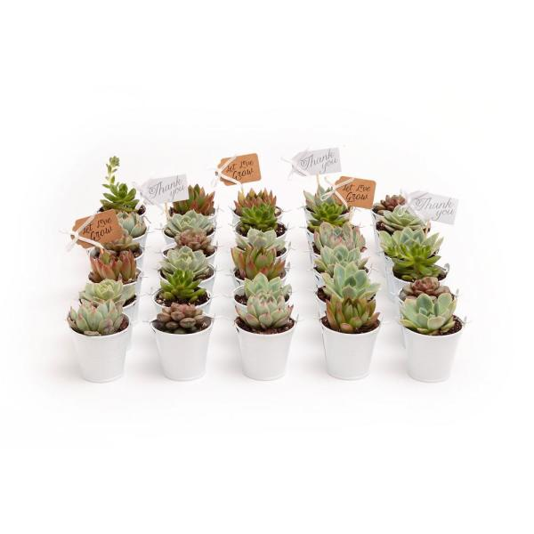 2 in. Wedding Event Rosette Succulents Plant with White Metal Pails and Thank You Tags (30-Pack)