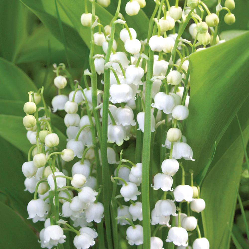 Van Zyverden Lily Of The Valley Roots 10 Pack 11371 The Home Depot