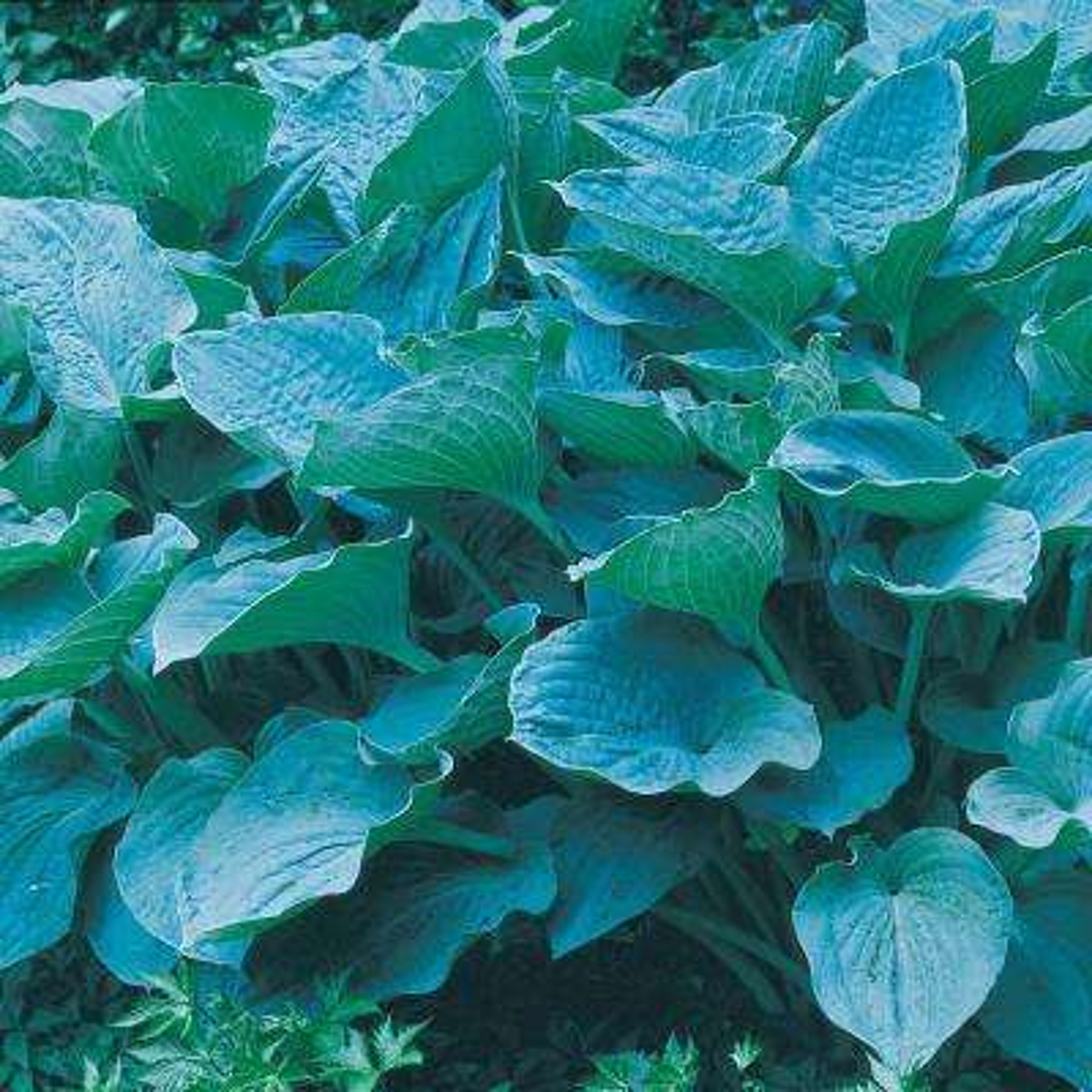 Colossal blue Hosta (Hosta) Live Bareroot Perennial Plant Blue Colored Foliage (1-Pack)
