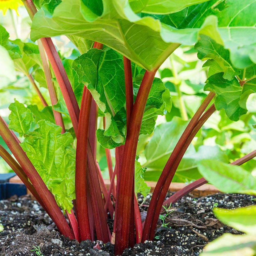 Gurney's Rhubarb Crimson Red (Bare Root)