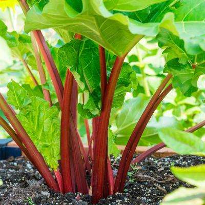 Rhubarb Crimson Red (Bare Root)
