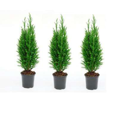 4 in. Euro Evergreen Cypress Tree (3-Pack)