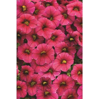 Superbells Cherry Red (Calibrachoa) Live Plant, Pink-Red Flowers, 4.25 in. Grande, 4-pack