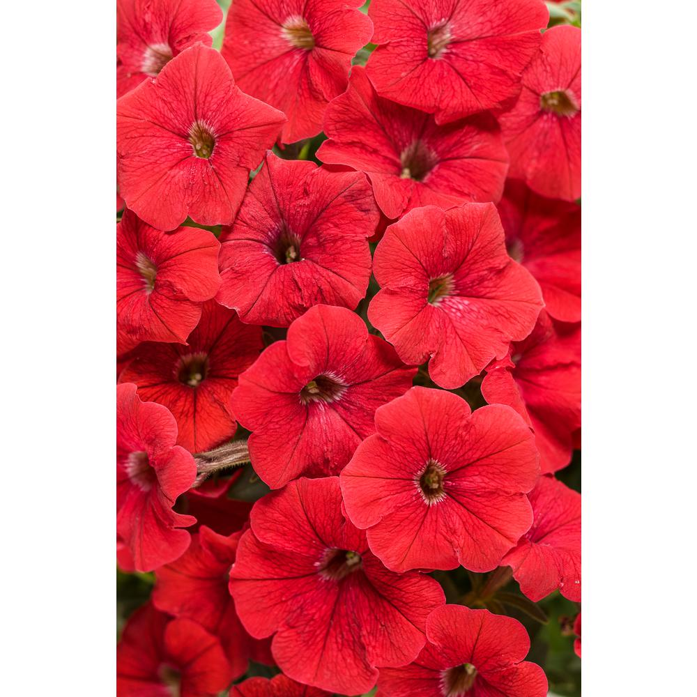 Proven Winners Supertunia Really Red (Petunia) Live Plant, Red Flowers, 4.25 in. Grande, 4-pack