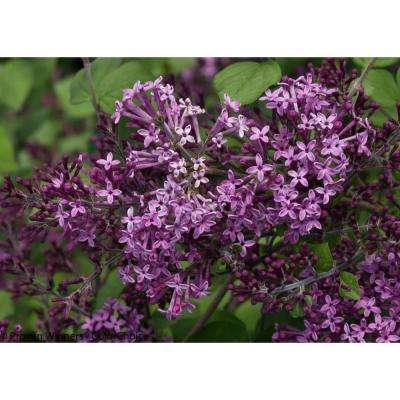 3 Gal. Bloomerang Dark Purple Reblooming Lilac (Syringa) Live Shrub, Purple Flowers