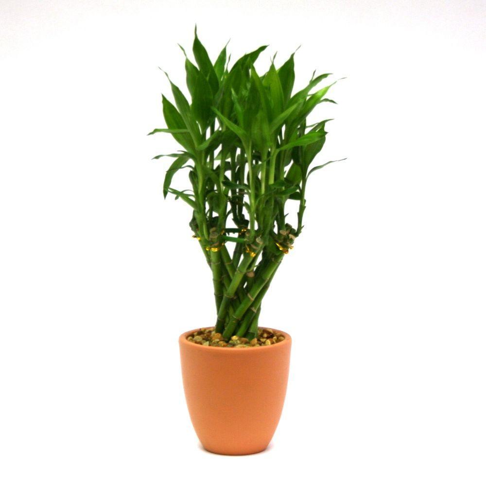 Delray Plants Lucky Bamboo Medium in 4 in. Toscana Pot