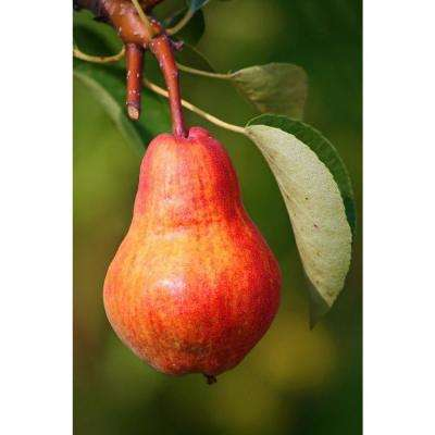 Dwarf Summercrisp Pear Tree - Cold Hardy, Juicy and Crisp Red Pears (Bare-Root, 3 ft. to 4 ft. Tall, 2-Years Old)