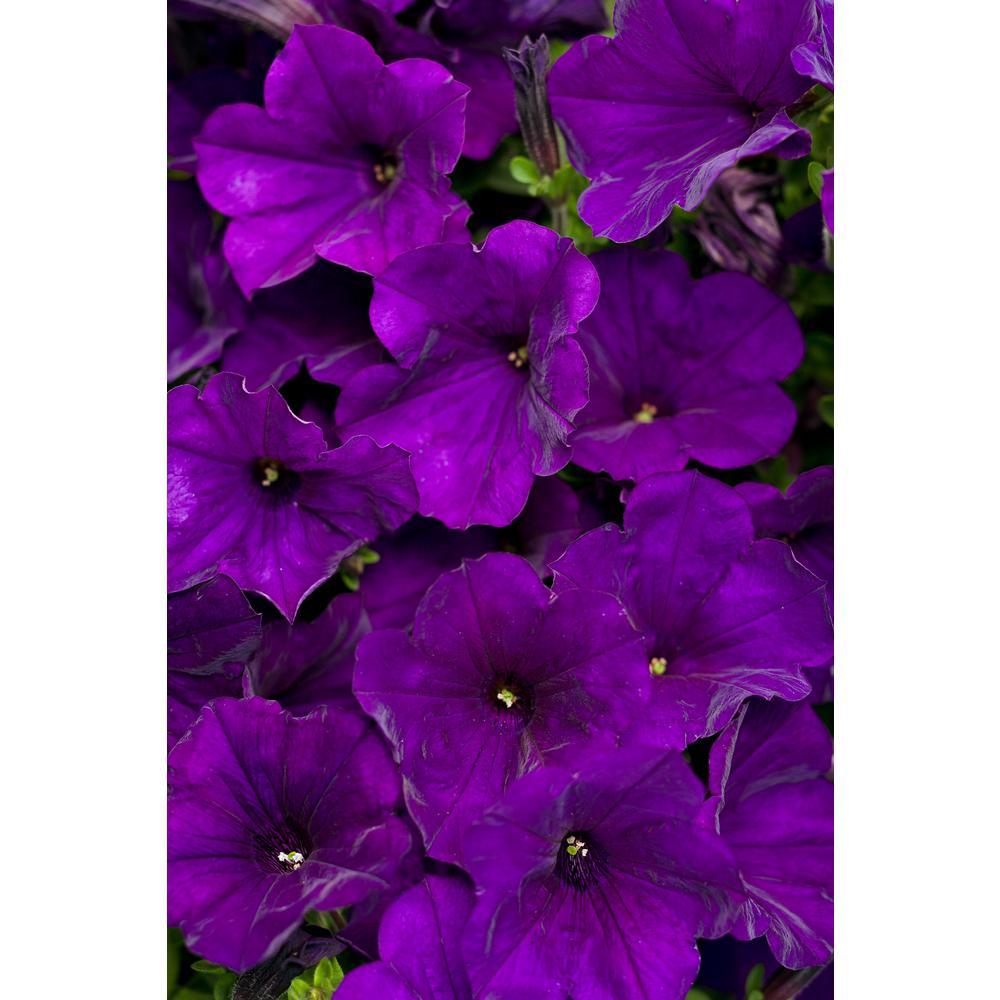 4-Pack, 4.25 in. Grande Supertunia Royal Velvet (Petunia) Live Plants, Purple Flowers