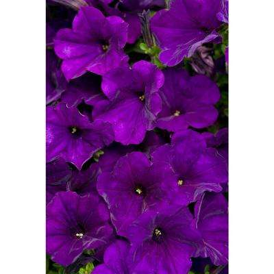 Supertunia Royal Velvet Petunia 4.25 in. Grande (4-Pack)