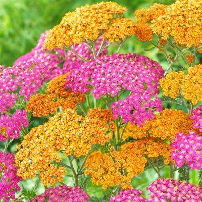 Pink and Orange Pollinator Friendly Yarrow Roots (8-Pack)