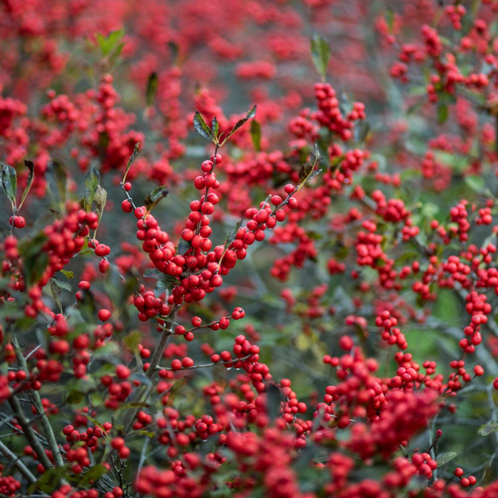 Spring Hill Nurseries 4 in. Pot Winter Red Winterberry ...
