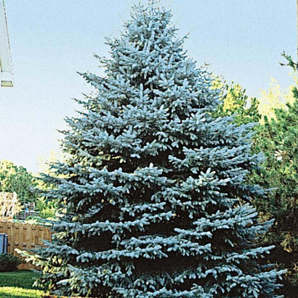 Colorado Blue Spruce (Picea