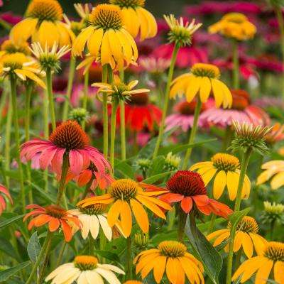 3 in. Pot Cheyenne Spirit Coneflower Echinacea Mutli-Color Flowers Live Perennial Plant (1-Pack)