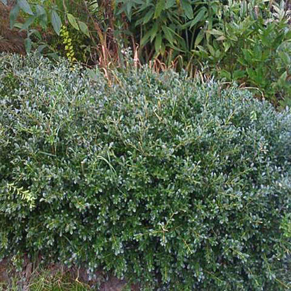 OnlinePlantCenter 2 Gal. Green Lustre Japanese Holly Shrub