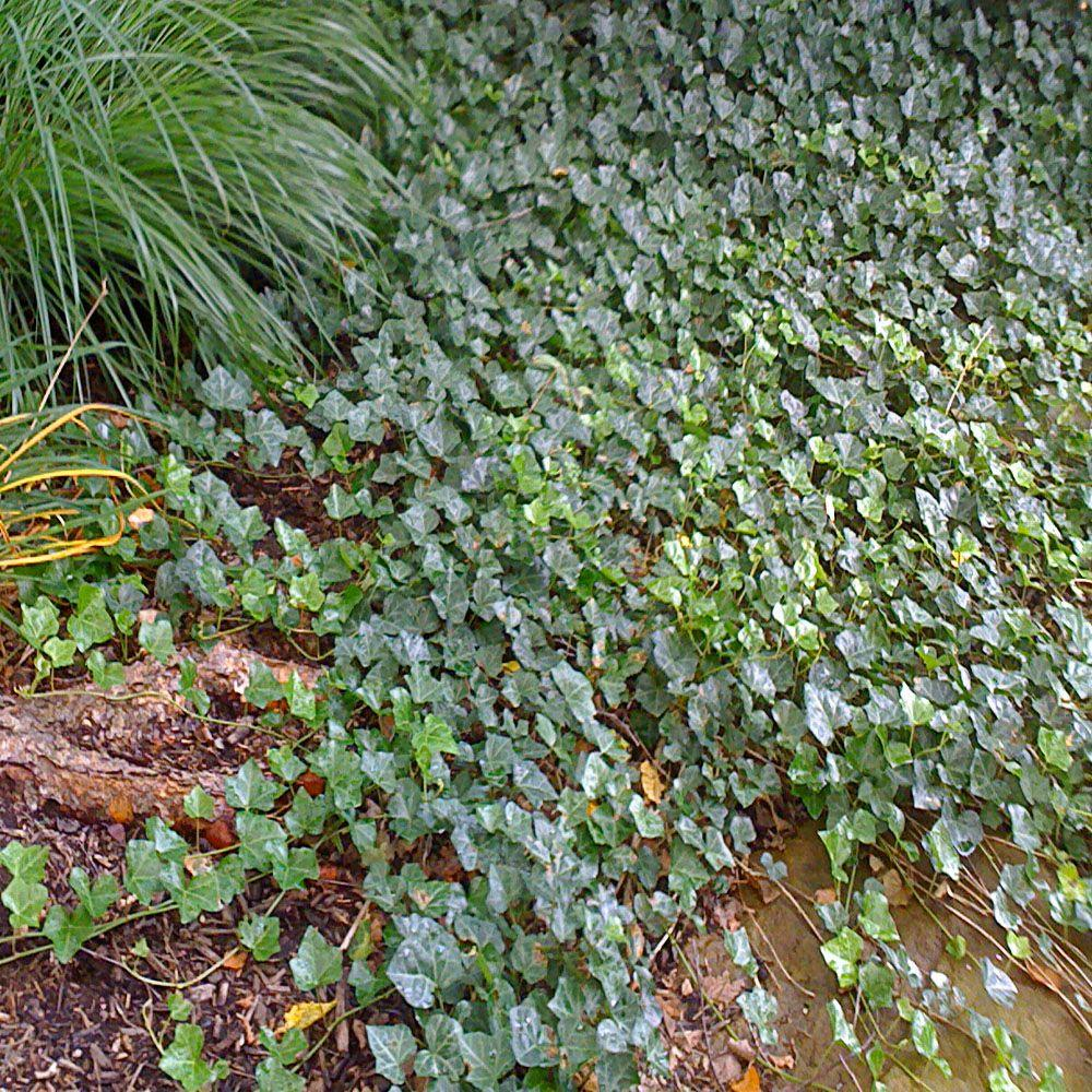 OnlinePlantCenter 3 in. Thorndale English Ivy Vine-DISCONTINUED