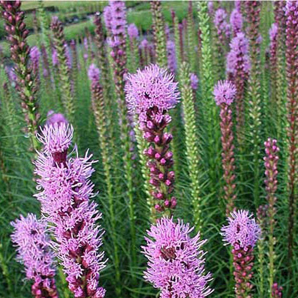 1 gal. Purple Blazing Star Gayfeather Plant