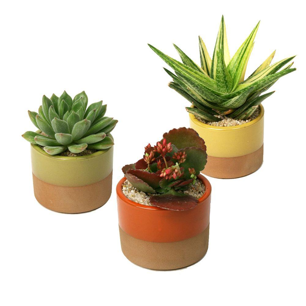 3 5 in assorted succulent plant in horizon deco pot 3 pack 0881010 the home depot. Black Bedroom Furniture Sets. Home Design Ideas