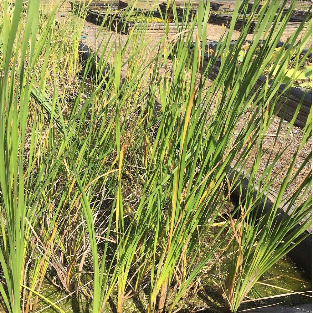 Givhandys 4 in. Potted Graceful Cattail Bog/Marginal Aquatic Pond Plant