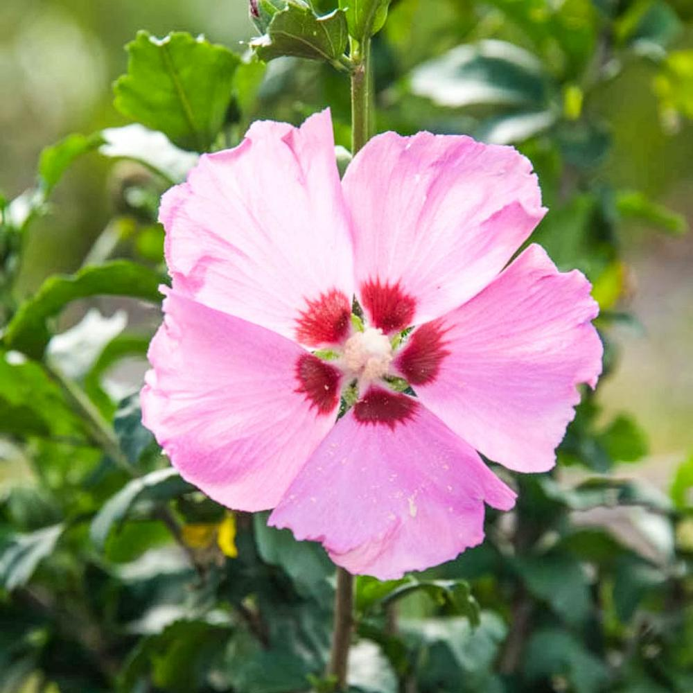 Spring Hill Nurseries Aphrodite Althea Hibiscus Tree Live Bare Root