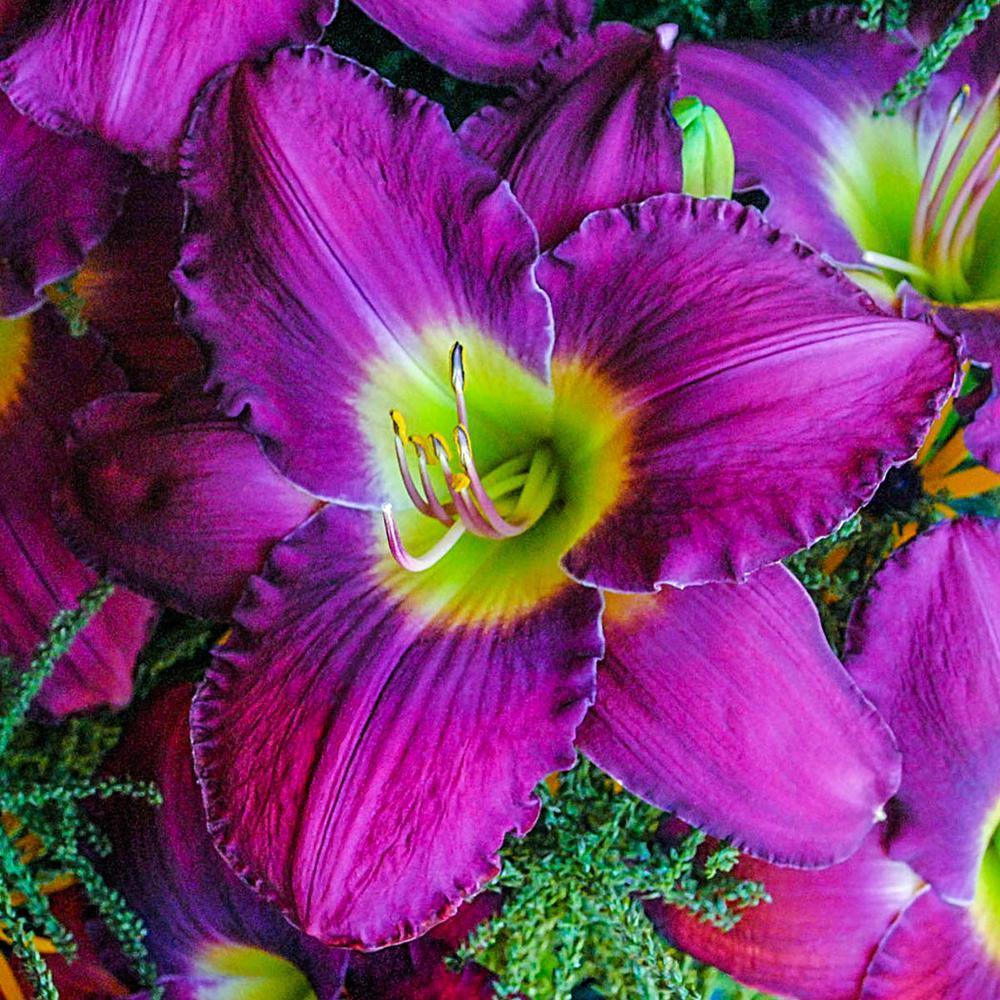 Maestro Puccini Reblooming Daylily (Hemerocallis) Live Bareroot Plant Rose-Purple Flowering Perennial (1-Pack)