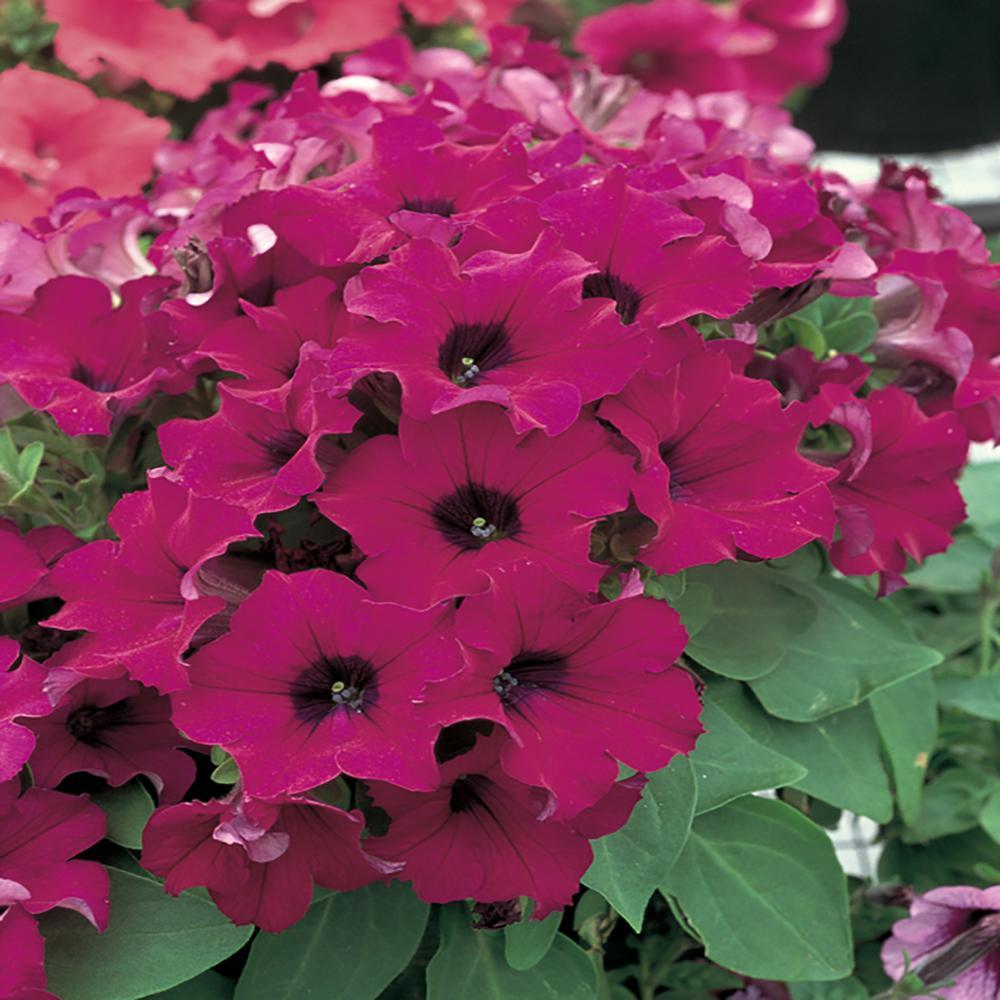 1.25 Gal. Purple Petunia Hanging Basket