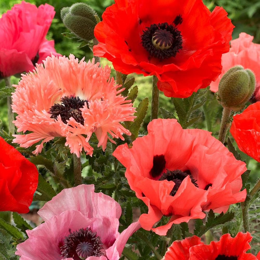 Van Zyverden Pink and Red Poppies Collection Roots (10-Pack)