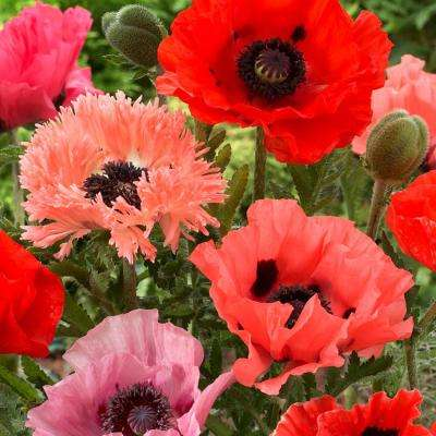 Pink and Red Poppies Collection Roots (10-Pack)