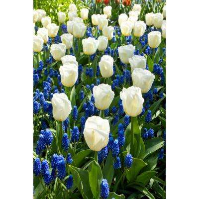 Border Buddies Tulip and Muscari Blend (10-Pack)