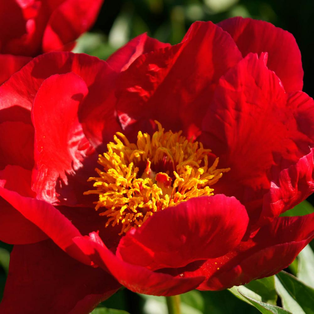 Spring Hill Nurseries Blaze Peony Paeonia Live Bareroot