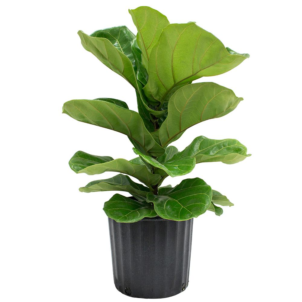 Ficus pandurata bush fig in pot tropical house plant for Ficus planta interior