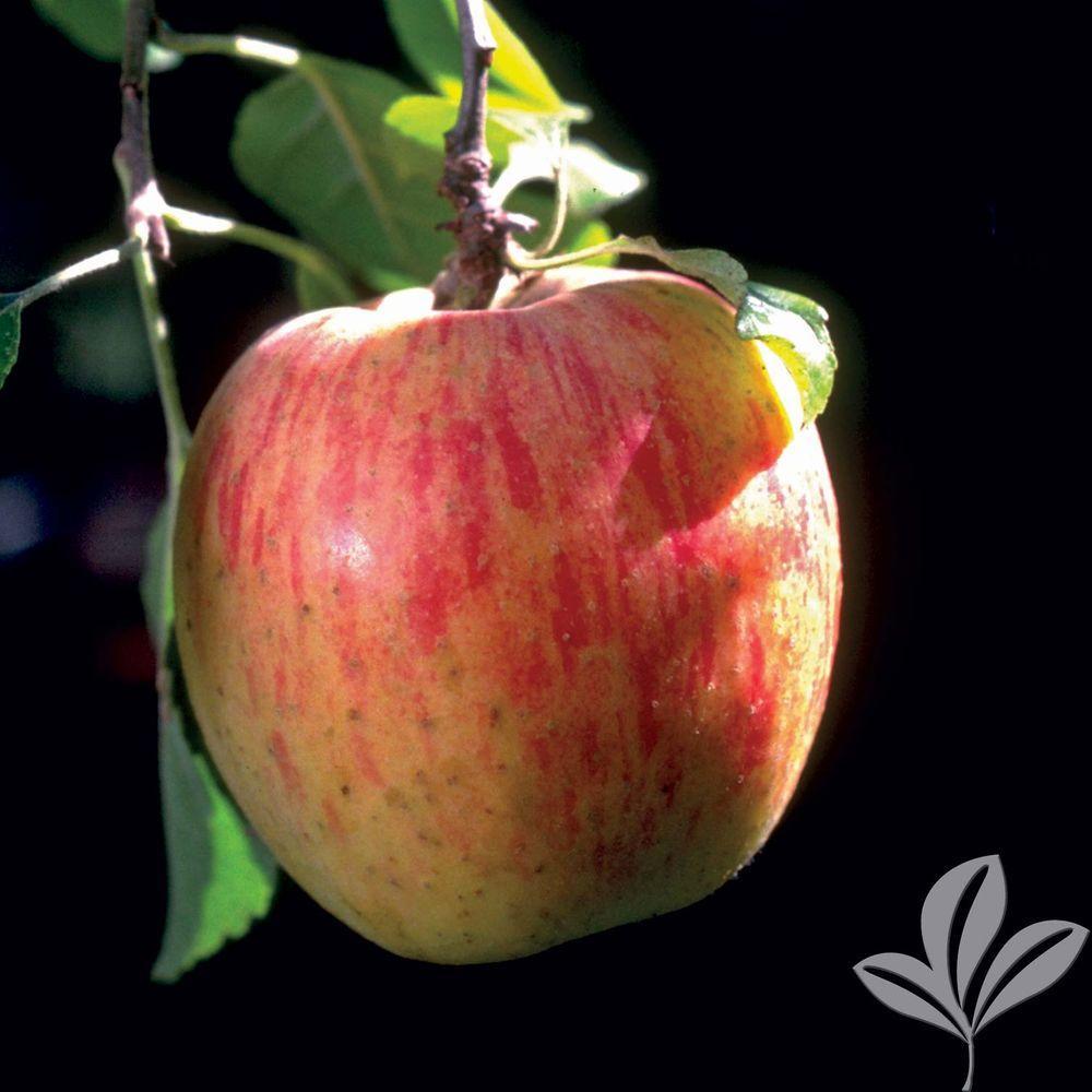 fuji apple tree appfugbp the home depot null fuji apple tree
